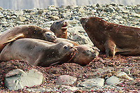 Female Southern elephant seals molting on a beach on Aitcho Island in the South Shetland Islands near the Antarctic Peninsula.