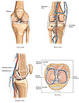 This illustration depicts the anatomy of the knee joint from four different views, including the front, back, mid-line cut-way, and superior. Includes labels for the patella, popliteal artery and vein, posterior and anterior cruciate ligaments (PCL and ACL), medial meniscus and lateral meniscus.