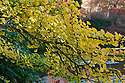 Gingko biloba, late October.