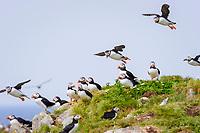 bird flock, Atlantic Puffin Fratercula arctica Newfoundland CANADA