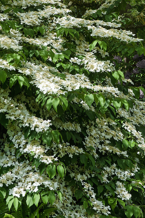 Viburnum plicatum, late May. A large deciduous shrub with wide-spreading, tiered branches and prominently veined, dark green, ovate leaves, purple in autumn. Large lacecap heads of white flowers in late spring are occasionally followed by red, later black fruit.