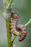 Red-humped Caterpillar; Schizura concinna; on apple; PA, Philadelphia, backyard;