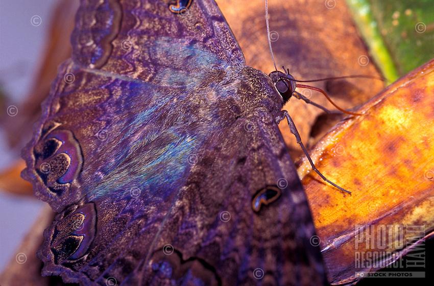 Black Witch Moth Ascalapha odorata, noctural, alien, feeding on banana