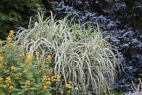 Tall variegated ornamental grass, Miscanthus sinensis var. condensatus 'Cosmopolitan' in garden mixed border in Kurt Bluemel garden