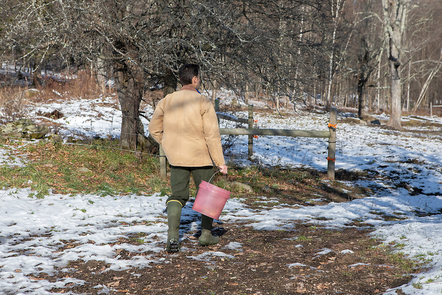 NORTHFIELD, VERMONT - Nathaniel Miller on his farm, Falling Damps Farm. Time to feed the cattle.