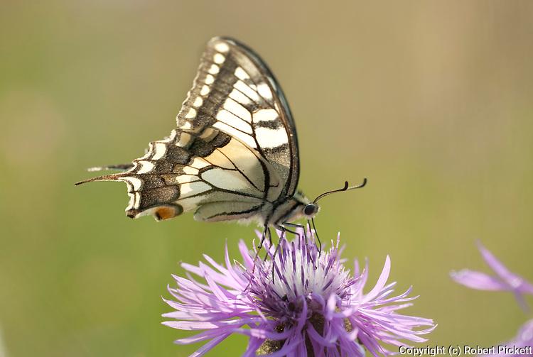 Swallowtail Butterfly, Papilio machaon, Vama Buzaului, Brasov, Transylvania, Romania, feeding on flower, backlight, prodiscus