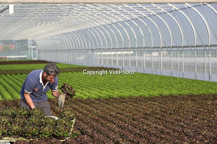 Foto: VidiPhoto<br /> <br /> WAARLAND - Dave Smit van groenteteler Pater Broersen uit het Noord-Hollandse Waarland controleert maandag de drijvende kroppen sla op wortelzetting. Drijfsla is op dit moment een enorme hit aan het worden. De sla groeit sneller, wordt duurzamer geteeld en hoeft niet extra gewassen te worden. Doordat de sla in drijvende traypotten groeit, komt er geen zand of grond tussen het blad. Omdat de verwerking machinaal gebeurt en zo minder tijd en arbeidskrachten kost, wordt er ook goedkoper geproduceerd. Pater Broersen heeft met een teeltvijver van 6000 vierkante meter de grootste buitenteelt van sla op water in Europa. Vrijwel de gehele productie is bestemd voor de binnenlandse markt.