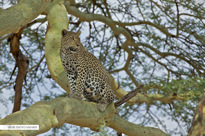 Leopard (Panthera pardus) hunts from a acacia tree, Serengeti