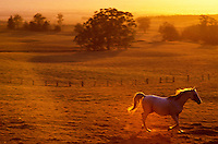 Horse galloping in pasture, Kohala, Island of Hawaii