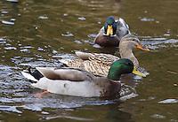 Mallard Ducks at Balmaha, on Loch Lomond.