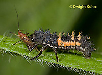 1C02-531z  Asian Ladybug Larva feeding on aphids, Harmonia axyridis