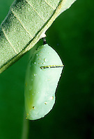 Monarch chrysalis with rain, Missouri USA