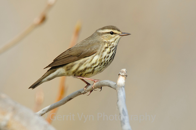 Adult Northern Waterthrush (Seiurus noveboracensis). Seward Peninsula, Alaska. May.