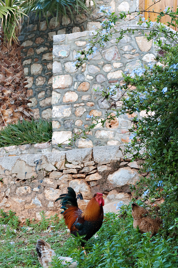 Rooster, Hydra, Greece