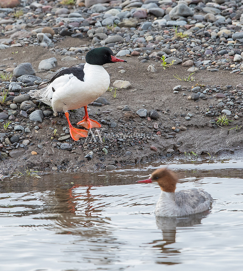 A male (black head) and female Common Merganser hang out together in the Lamar Valley.