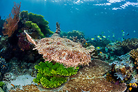 A Tasselled wobbegong, Eucrossorhinus dasypogon, glides over a diverse coral reef displaying its incredible camouflaged pattern. This is an ambush predator. Batanta Island, Raja Ampat, Papua, Indonesia, Pacific Ocean
