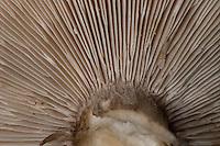 Gewöhnlicher Weichritterling, Weich-Ritterling, Schwarzweißer Weichritterling, Gemeiner Weichritterling, Melanoleuca melaleuca, Melanoleuca  vulgaris, Tricholoma melaleucum, Cream Grey Toadstall, Melanoleuca Mushroom
