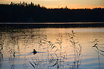 Lone Duck Enjoying a Swim at Dusk on a Quiet Lake in Finland