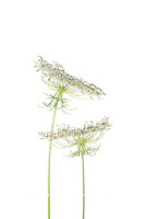 30099-00704 Queen Anne's Lace (Daucus carota) (high key white background) Marion Co. IL