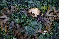 Sea Weed and Barnacle, Gossip Island, San Juan Islands, Washington, US