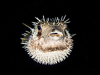 long-spine porcupinefish, freckled porcupinefish, Diodon holocanthus, Curacao, ABC islands, Netherlands Antilles, Caribbean