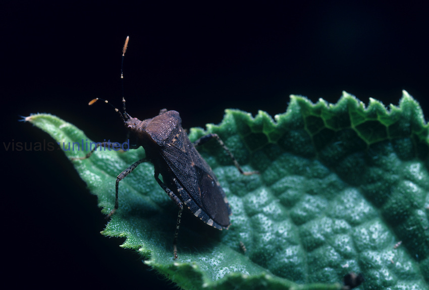 Squash Bug (Anasa tristis), North America.