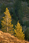 Sunset light on young evergreen trees, Mineral King, Sequoia National Park, California