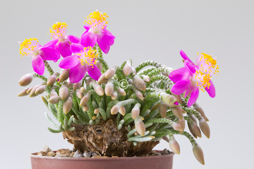 Avonia quinaria ssp. alstonii