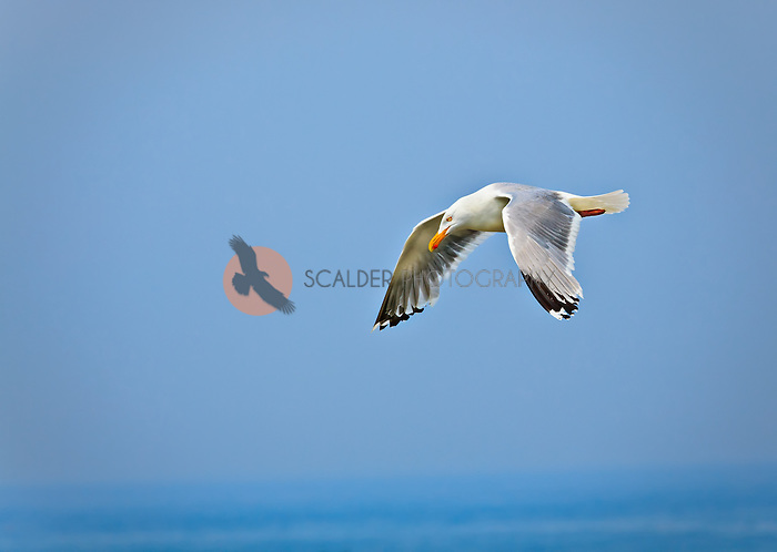 Herring Gull in breeding colors in flight against blue sky