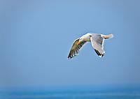 Herring Gull in breeding colors in flight against blue sky
