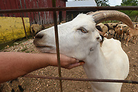 Boger pets one of the goats that kids and adults can pet on weekends at her farm on Hickory Creek Road. <br />(NWA Democrat-Gazette/Flip Putthoff)