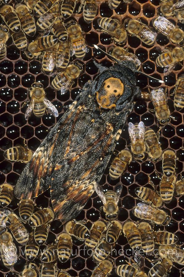 Totenkopfschwärmer, Totenkopf-Schwärmer, Falter auf Bienenwaben, Honigbiene, Honigbienen, Acherontia atropos, Death's-head Hawk moth, Le Sphinx tête de mort, Schwärmer, Sphingidae, hawkmoths, hawk moths, sphinx moths, sphinx moth, hawk-moths, hawkmoth