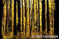"""Autumn Glow"" by Art Harman Golden sunshine."