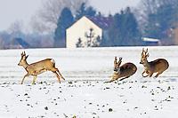 Europäisches Reh im Schnee, Winter, Rehwild, Reh-Wild, Rehe, Bock, Rehbock, Männchen, Capreolus capreolus, roe deer, snow