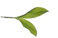 Maiglöckchen, Gewöhnliches Maiglöckchen, Mai-Glöckchen, Convallaria majalis, Life-of-the-Valley, Lily of the valley, Muguet, muguet de mai. Blatt, Blätter, leaf, leaves