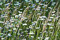 Oxeye daisies (Leucanthemum vulgare) in orchard meadow grass, Sussex, early June.