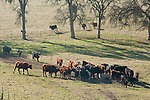 Gathering cattle for spring marking and doctoring, Ellis Ranch, Amador County, Calif.