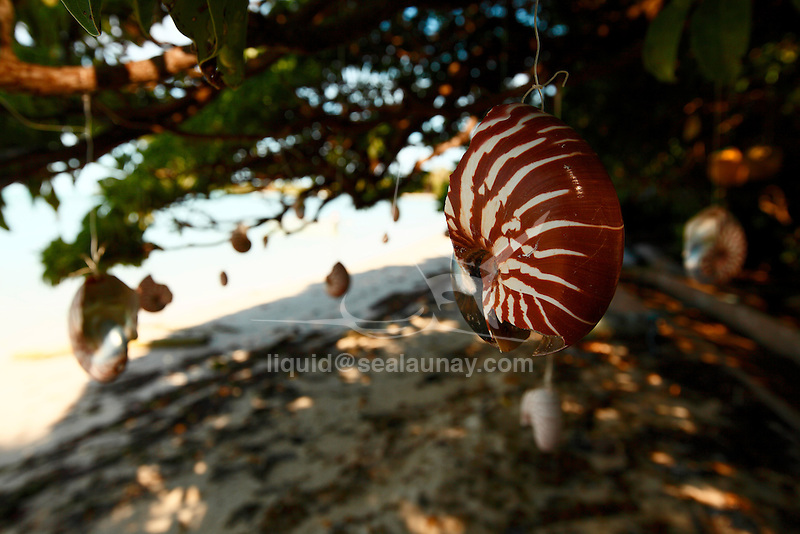 """Nautilus shell suspended at the fishing village of Vao on the Isle of pines, New Caledonia..The Isle of Pines (French: Île des Pins; Kanak name: Kunyié) is an island located in the Pacific Ocean, in the archipelago of New Caledonia, an overseas territory of France. The island is part of the commune (municipality) of L'Île-des-Pins, in the South Province of New Caledonia. The Isle of Pines is often nicknamed l'île la plus proche du paradis (""""the closest island to Paradise"""") and is famous for snorkeling and scuba diving in and around its colorful lagoon. Many species of tropical fish and corals can be seen in the transparent water..The island is located around [show location on an interactive map] 22°37?S 167°29?E / 22.617°S 167.483°E / -22.617; 167.483Coordinates: 22°37?S 167°29?E / 22.617°S 167.483°E / -22.617; 167.483 and measures 15 km (9 miles) by 13 km (8 miles). It lies southeast of Grande Terre, New Caledonia's main island and is approximately 100 kilometres south-east of the capital Noumea. There is one airport (code ILP) with a 1,097-meter (3,600 ft) runway. The Isle of Pines is surrounded by the New Caledonia Barrier Reef..The inhabitants of the island are mainly native Melanesian Kanaks and the population is approximately 2,000 (estimated 2006) (1989 population 1,465)..The island is rich with animal life and is home to many unique creatures such as the Crested Gecko Rhacodactylus ciliatus and the world's largest gecko Rhacodactylus leachianus..The pic Nga is the island's highest point, at 262 meters (860 ft) elevation..The island was first discovered by Captain James Cook in 1774 on his second voyage to New Zealand. Captain Cook gave the island its name after seeing the tall native pines (Araucaria columnaris). It is said he never actually disembarked onto the island but as he saw signs of inhabitance (smoke) assumed it was inhabited. In the 1840s both Protestant and Catholic missionaries arrived, along with merchants seeking sandalwood..The French took po"""