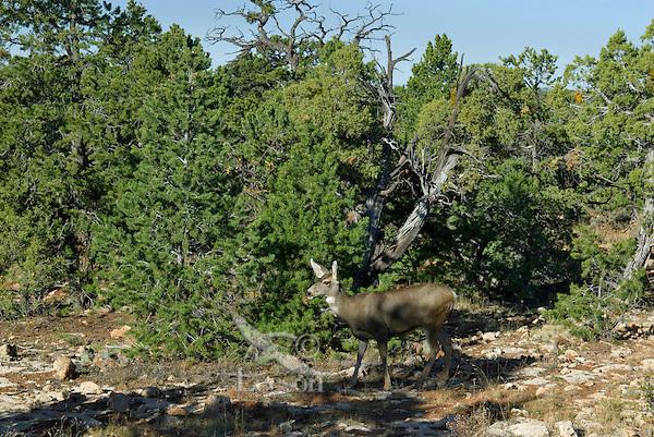 Mule deer doe (Odocoileus hemionus) among pinon pine and juniper trees, Southwestern U.S., fall.