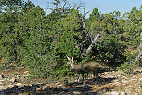 Mule deer doe (Odocoileus hemionus) among pinon pine and juniper trees, Southwestern U.S., fall.