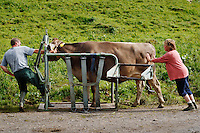 Putting a cow in a restrainer so that the farmer can treat its injured leg...Cowherd and cheesemaker spends 100 days in the summer, high up in the mountains, tending cows and pigs and making cheese at Balisalp and Käserstatt near Meiringen, Switzerland.
