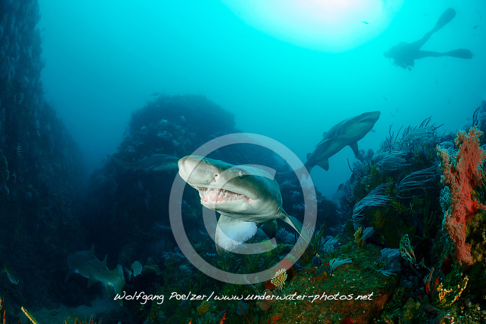 Carcharias taurus, Sandtigerhai und Taucher, Gray Nurse Shark, Sand tiger shark or Raggedthoothed Shark and scuba diver, Porth Elizabeth, Algoa Bay, Suedafrika, Indischer Ocean, South Africa, Porth Elisabeth, Indian Ocean, MR Yes