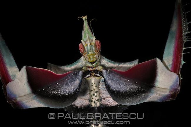 Devil Flower, Emperor Mantid (Idolomantis diabolica)