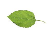 Weißer Maulbeerbaum, Weiße Maulbeere, Morus alba, white mulberry, Silkworm mulberry, Le Mûrier blanc, Mûrier commun, Maulbeergewächse, Moraceae. Blatt, Blätter, leaf, leaves, Blattunterseite