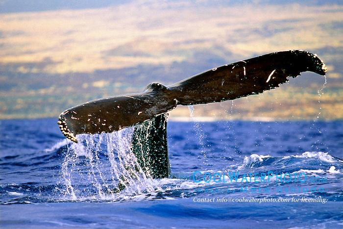 humpback whale, fluke-up dive, .Megaptera novaeangliae, .Hawaii (Pacific).