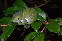 Africa, Madagascar, Andasibe. VOIMMA reserve. Parson's chameleon sitting on a leaf at night.