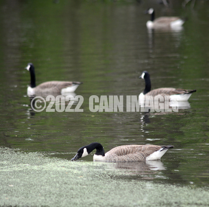 Some geese float in the lake during a community cleanup of Lake Afton to provide some relief for the algae-plagued and mucky man made lake Saturday, May 6, 2017 at Lake Afton in Yardley, Pennsylvania. (WILLIAM THOMAS CAIN / For The Philadelphia Inquirer)