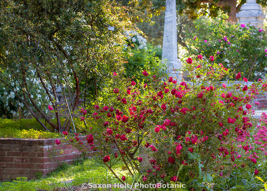 'Malespina Red China' - Old heirloom rose flowering in Sacramento Old City Cemetery