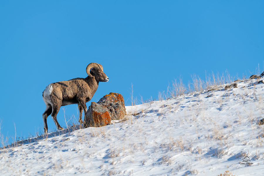 Bighorn Sheep (Ovis canadensis) ram poses near a colorful rock on top of a hill in Yellowstone National Park. We spotted him from the road, hiked through the deep powder and started shooting. These guys are so regal and graceful.