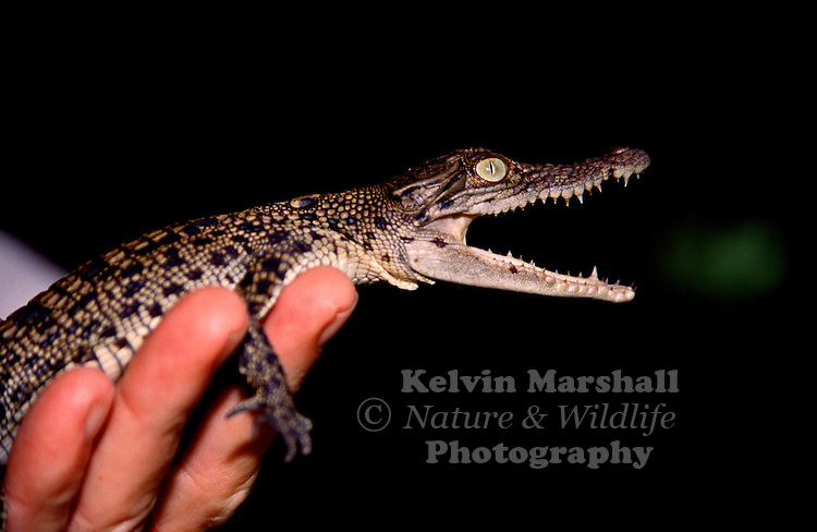 Holding a newly hatched Saltwater Crocodile